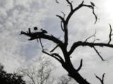 A dead tree full of birds.jpg