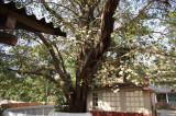 Bodhi Tree in Buddhist Monestary (2).jpg