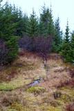 Skógarrjóður