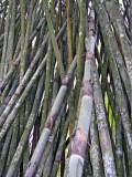 Bamboo - Summit Gardens - Panama 4