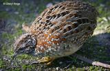 Button-quails
