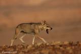 ON8Y0177cpb.jpg Wolf