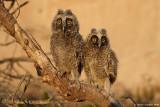 Long-eared_Owl