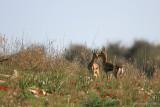 Gazella gazella 2555