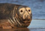 (Masked) Grey Seal