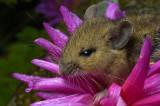 Dahlia Mouse
