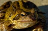 Sun Burst Toad