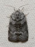 Hodges#8104 * Cadbury's Lichen Moth * Comachara cadburyi