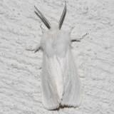 Hodges#8137 * Virginian Tiger Moth * Spilosoma virginica