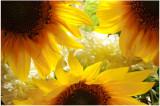 sunflower of Egypt