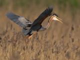 Purperreiger; Purple Heron