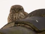 Steenuil; Little owl