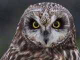 Velduil; Short-eared Owl