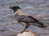 BonteKraai; Hooded Crow