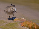 Temmincks Strandloper; Temmincks Stint