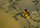 Zwartkopgors; Black-Headed Bunting