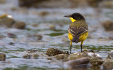 Balkankwikstaart; Black-headed Wagtail