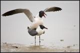 _ADR7353 gulls wf.jpg