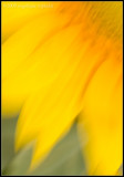 _MG_8823 sunflower cewf.jpg
