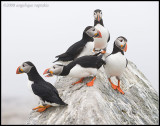 _ADR1867 puffin colony 11x14 wf.jpg