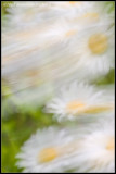 _ADR1505 windy daisies wf.jpg