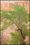 _ADR6762 canyon tree wf.jpg