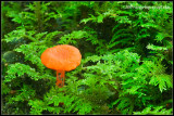 _ADR9698 orange mycena wf.jpg