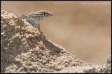_MG_3590 lizard cewf.jpg