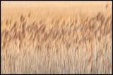 _MG_5421 grasses wf.jpg