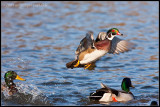 _ADR0899 wood duck flight wf.jpg