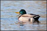 _MG_6224 duck cwf.jpg