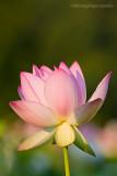 _ADR6318 lotus w.jpg
