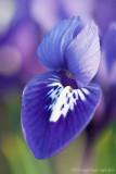 _ADR8036 iris w.jpg