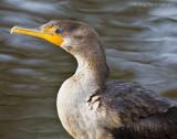 _ADR9400 cormorant 11x14 w.jpg