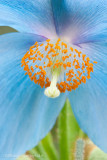 _ADR3879 blue poppy w.jpg