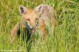 _ADR0720 red fox cw.jpg