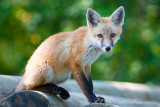 _ADR0806 fox kit w.jpg