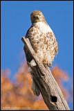 _MG_6187 hawk c2wfP.jpg