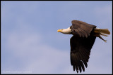 _MG_1907 eagle-fish cwfP.jpg