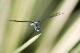 _MG_8718 dragonfly c2wP.jpg