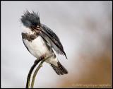 _ADR8241 kingfisher 11x14 wf.jpg