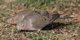 dove-mourning3617o.jpg