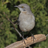 mockingbird3674o.jpg