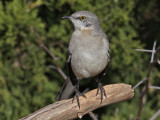 mockingbird3682o.jpg