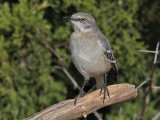 mockingbird3686-2o.jpg
