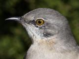mockingbird3674-head.jpg