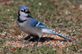 jay-blue3740o.jpg