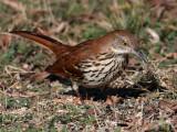 thrasher-brown3762o.jpg