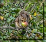 Peeka's squirrel