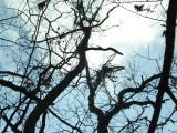 Bear Nests in White Oak.JPG